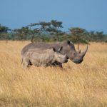 Wild rhinos in a field in Kenya