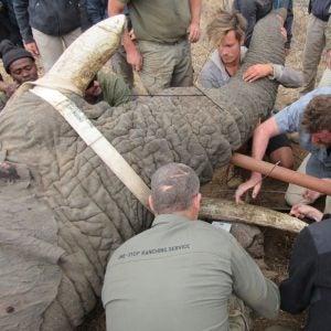 Elephant tusk brace