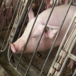 Pig in gestation crate