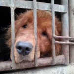 Dog rescued from the dog meat trade in China.