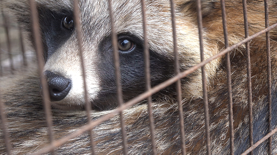 Raccoon dog in a cage
