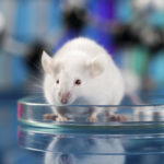 Mouse in petri dish