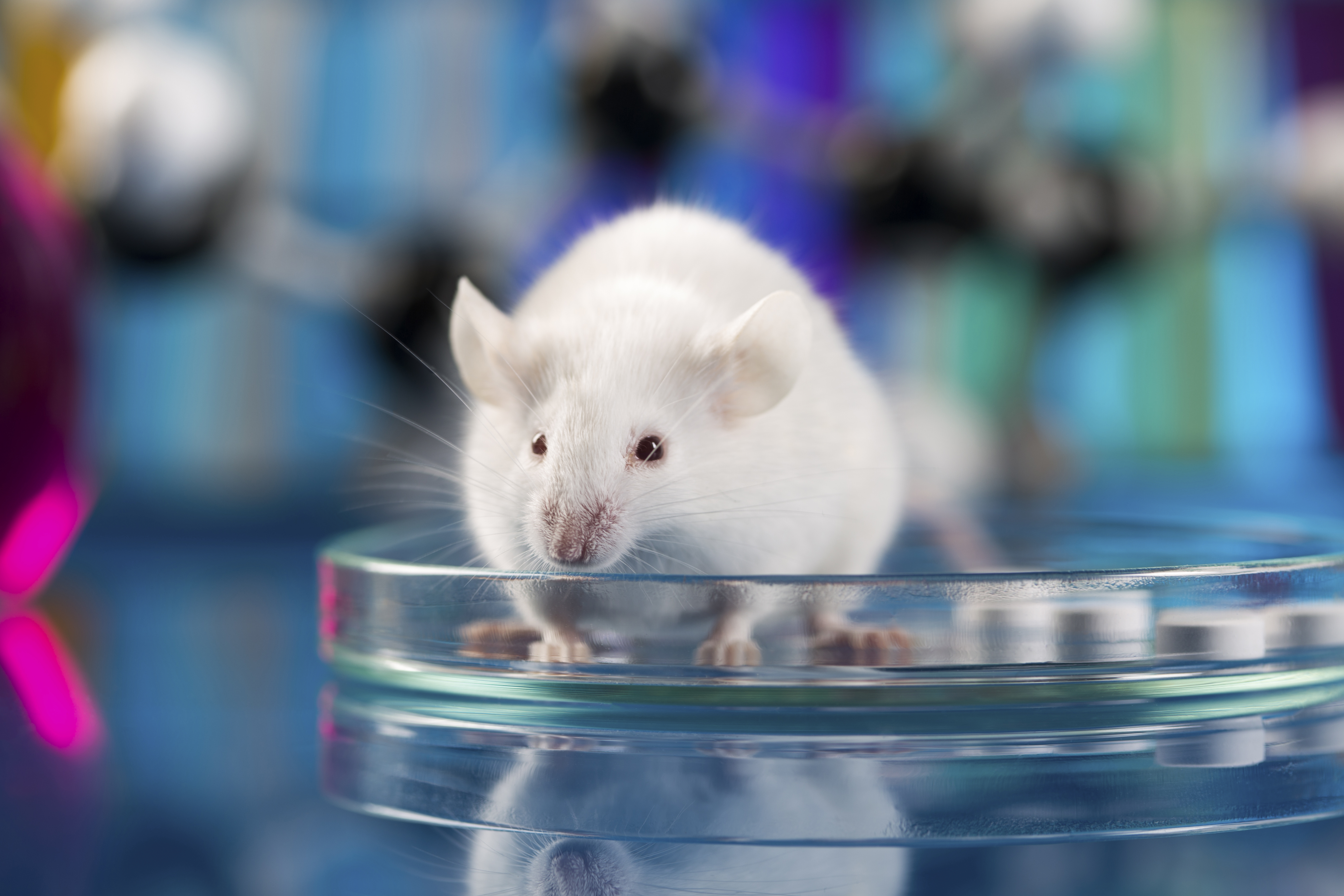 Mouse in a petri dish