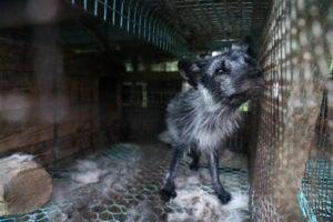 Finland fur farm