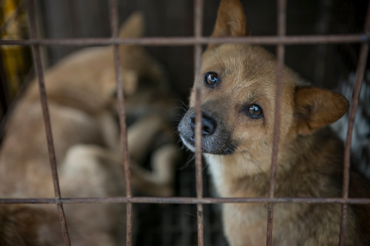 Dogs on a South Korean dog meat farm