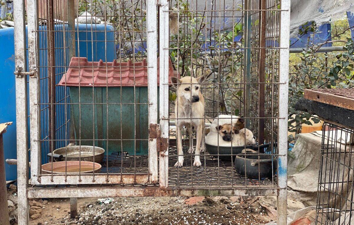 Rescued from a dog meat farm