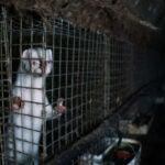 Mink on a fur farm