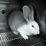 Rabbit in a lab
