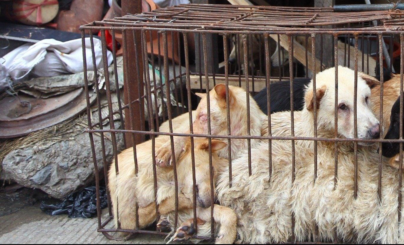 Dogs at Yulin