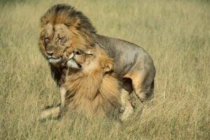 Two male lions named Netsai and Humba in Hwange National Park, Zimbabwe.