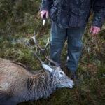 Hunted deer
