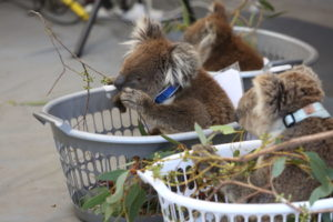 Three koalas rescued on Kangaroo Island sitting in laundry baskets eat eucalyptus branches and wait for assessment and treatment.