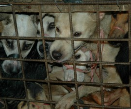 Dogs rescued from the illegal dog meat trade