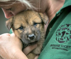 HSI saves 149 dogs and puppies from being killed and eaten for South