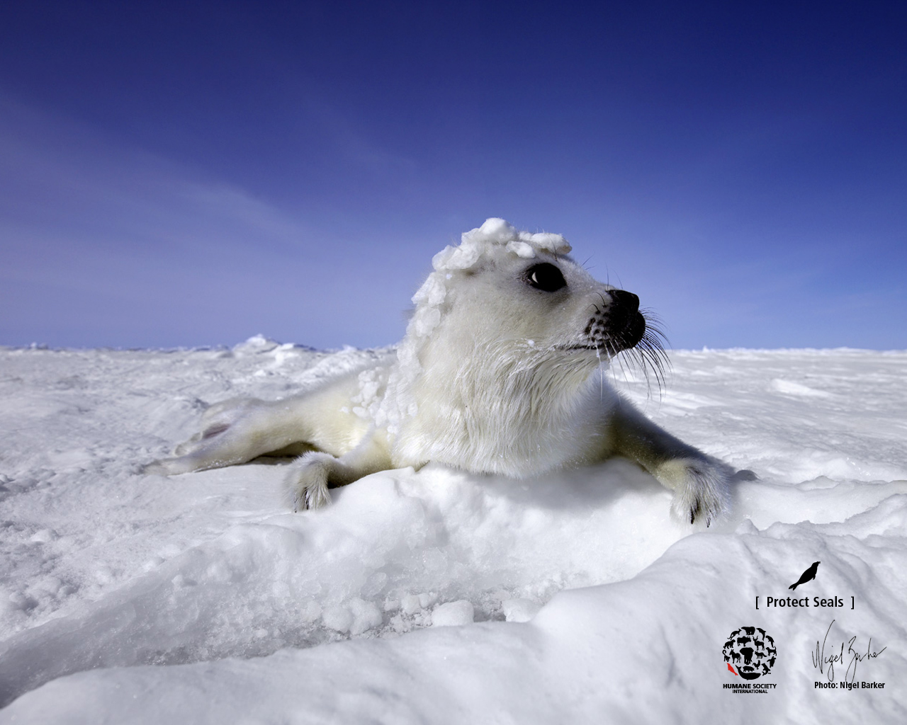 Seal Wallpaper by Nigel Barker : Humane Society International.